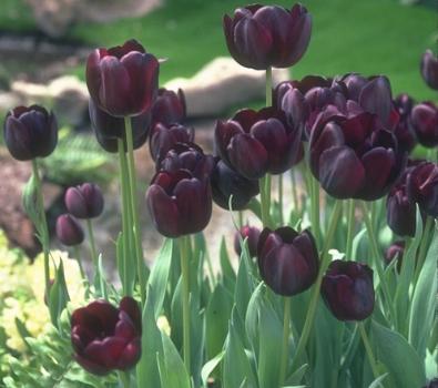 tulip gifs